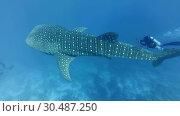 Купить «Slow motion, Scuba diver swims and shooting slowly-swimming Whale shark - Rhincodon typus, Indian Ocean, Maldives. Top view», видеоролик № 30487250, снято 20 апреля 2019 г. (c) Некрасов Андрей / Фотобанк Лори