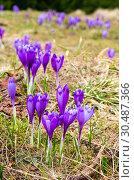 Purple Crocus flowers on spring mountain. Стоковое фото, фотограф Юрий Брыкайло / Фотобанк Лори
