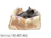 Купить «Gray kitten on a lounger on a white background», фото № 30487462, снято 31 мая 2014 г. (c) Ласточкин Евгений / Фотобанк Лори