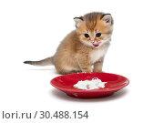 Little kitten eating sour cream. Стоковое фото, фотограф Okssi / Фотобанк Лори