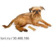 Купить «Dog breed Brussels Griffon and bone», фото № 30488186, снято 21 марта 2019 г. (c) Okssi / Фотобанк Лори