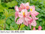 Купить «Цветущий рододендрон японский (лат. Rhododendron japonicum)», фото № 30496694, снято 11 июня 2018 г. (c) Елена Коромыслова / Фотобанк Лори