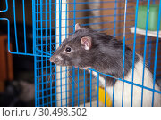 Купить «Domestic rat in a cage», фото № 30498502, снято 14 марта 2008 г. (c) Argument / Фотобанк Лори