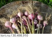 Свежий урожай чеснока на деревянном пне. Стоковое фото, фотограф Елена Коромыслова / Фотобанк Лори