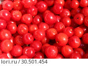 Red berry of Prunus tomentosa. Стоковое фото, фотограф Александр Птах / Фотобанк Лори