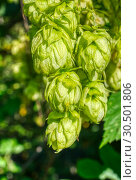 Ripe hops, close-up shot. Agricultural plant, the main component in the production of beer. Стоковое фото, фотограф Андрей Радченко / Фотобанк Лори