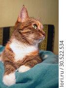 Купить «Portrait of an american shorthair cat.», фото № 30522534, снято 12 октября 2018 г. (c) Акиньшин Владимир / Фотобанк Лори