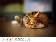 Купить «Portrait of an american shorthair cat lying on its belly.», фото № 30522538, снято 12 октября 2018 г. (c) Акиньшин Владимир / Фотобанк Лори
