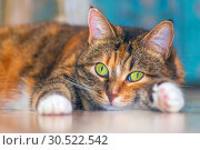 Купить «Portrait of an american shorthair cat lying on its belly.», фото № 30522542, снято 13 октября 2018 г. (c) Акиньшин Владимир / Фотобанк Лори