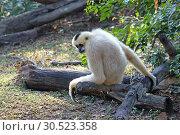 Купить «Белощёкий хохлатый гиббон (лат. Nomascus leucogenys). Самка обезьяны в Таиланде», фото № 30523358, снято 21 марта 2019 г. (c) Григорий Писоцкий / Фотобанк Лори