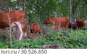 Herd of cows in mountain forest. Imereti, Georgia. Стоковое видео, видеограф Serg Zastavkin / Фотобанк Лори