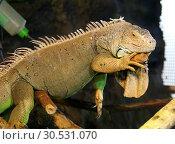 Купить «Big green iguana», фото № 30531070, снято 3 июня 2008 г. (c) Tryapitsyn Sergiy / Фотобанк Лори