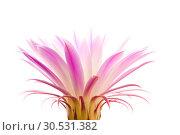 Купить «Cactus flower», фото № 30531382, снято 2 июля 2010 г. (c) Tryapitsyn Sergiy / Фотобанк Лори