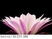 Купить «Cactus flower», фото № 30531386, снято 2 июля 2010 г. (c) Tryapitsyn Sergiy / Фотобанк Лори