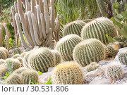 Купить «Green cactuses», фото № 30531806, снято 10 сентября 2010 г. (c) Tryapitsyn Sergiy / Фотобанк Лори