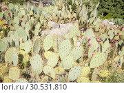 Купить «Green cactuses», фото № 30531810, снято 10 сентября 2010 г. (c) Tryapitsyn Sergiy / Фотобанк Лори