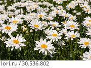 Купить «Field of daisies on a sunny summer day», фото № 30536802, снято 1 июля 2011 г. (c) Наталья Волкова / Фотобанк Лори