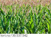 Field of ripe corn. Стоковое фото, фотограф Tryapitsyn Sergiy / Фотобанк Лори