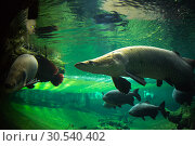 Купить «Giant fishes underwater», фото № 30540402, снято 6 июля 2013 г. (c) Tryapitsyn Sergiy / Фотобанк Лори