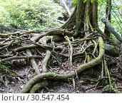 Купить «Tropical tree roots», фото № 30547454, снято 16 декабря 2013 г. (c) Tryapitsyn Sergiy / Фотобанк Лори