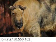 Купить «Сычуанский такин (лат. Budorcas taxicolor tibetana)», эксклюзивное фото № 30550102, снято 26 сентября 2014 г. (c) lana1501 / Фотобанк Лори