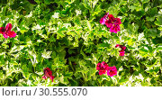 Купить «Flowers round the fence», фото № 30555070, снято 14 апреля 2016 г. (c) Tryapitsyn Sergiy / Фотобанк Лори