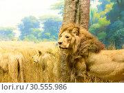 Family of lions. Стоковое фото, фотограф Tryapitsyn Sergiy / Фотобанк Лори