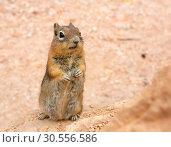 Ground squirell on sandy soil background. Стоковое фото, фотограф Tryapitsyn Sergiy / Фотобанк Лори