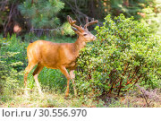 Купить «Young elk in forest.», фото № 30556970, снято 1 июля 2016 г. (c) Tryapitsyn Sergiy / Фотобанк Лори