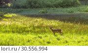 Купить «Fawn on the meadow.», фото № 30556994, снято 1 июля 2016 г. (c) Tryapitsyn Sergiy / Фотобанк Лори