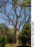 Купить «Beautiful tree in tropical forest on Sri Lanka», фото № 30565286, снято 22 февраля 2017 г. (c) Tryapitsyn Sergiy / Фотобанк Лори