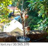 Купить «Monkeys drink water from the fountain on Ceylon», фото № 30565370, снято 23 февраля 2017 г. (c) Tryapitsyn Sergiy / Фотобанк Лори