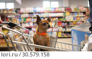 small dog is sitting in supermarket cart an looks around in 4K slow motion close up video. Стоковое фото, фотограф Uladzimir Sitkouski / Фотобанк Лори