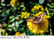 Купить «Крапивница-бабочка (лат. Aglais urticae, Nymphalis urticae) сидит на жёлтом цветке бархатца ранней осенью солнечным днём. Россия.», фото № 30579870, снято 13 сентября 2018 г. (c) Владимир Устенко / Фотобанк Лори