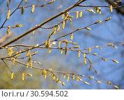 Мужские сережки цветущего граба обыкновенного (Carpinus betulus L.) Стоковое фото, фотограф Ирина Борсученко / Фотобанк Лори