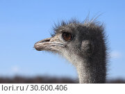 Купить «Ostrich head against a blue sky», фото № 30600406, снято 4 марта 2010 г. (c) Яна Королёва / Фотобанк Лори