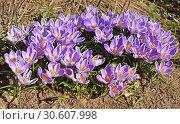 Beautiful first spring flowers. Crocus vernus Pickwick (Dutch Crocus) Стоковое фото, фотограф Валерия Попова / Фотобанк Лори