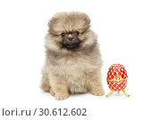 Купить «Spitz puppy and decorative egg», фото № 30612602, снято 10 апреля 2019 г. (c) Okssi / Фотобанк Лори