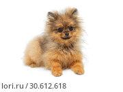Купить «Funny puppy of breed a Pomeranian Spitz», фото № 30612618, снято 10 апреля 2019 г. (c) Okssi / Фотобанк Лори