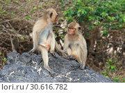 Купить «Макак-крабоед (лат. Macaca fascicularis) или яванский макак. Две обезьяны на острове в Таиланде», фото № 30616782, снято 19 марта 2019 г. (c) Григорий Писоцкий / Фотобанк Лори