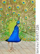 Купить «Indian peafowl or blue peafowl (Pavo cristatus), large and brightly coloured bird. Portrait», фото № 30617226, снято 20 апреля 2019 г. (c) Валерия Попова / Фотобанк Лори