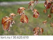 Бук лесной (Fagus sylvatica L.), ветка с молодыми листьями и цветками. Стоковое фото, фотограф Ирина Борсученко / Фотобанк Лори