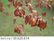 Цветущий бук европейский (Fagus sylvatica L.) Стоковое фото, фотограф Ирина Борсученко / Фотобанк Лори