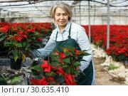 Купить «Female arranging poinsettia plants in glasshouse», фото № 30635410, снято 22 ноября 2018 г. (c) Яков Филимонов / Фотобанк Лори