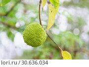 Маклюра оранжевая или яблоконосная, или красильная шелковица, или лжеапельсин (лат. Maclura pomifera) — вид плодовых деревьев семейства тутовых (лат. Moraceae) Стоковое фото, фотограф Наталья Гармашева / Фотобанк Лори