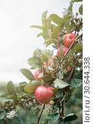 Купить «Apple tree with apples», фото № 30644338, снято 16 сентября 2018 г. (c) Jan Jack Russo Media / Фотобанк Лори