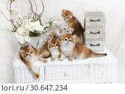 Купить «Kittens breed British shorthair with green eyes. Five kittens Golden Chinchilla color, and one Blue Golden Chinchilla color. Group portrait», фото № 30647234, снято 22 апреля 2019 г. (c) Ирина Кожемякина / Фотобанк Лори