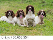 Купить «A portrait of four working springer spaniels on a shoot day», фото № 30653554, снято 5 августа 2020 г. (c) Ingram Publishing / Фотобанк Лори