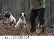 Купить «Portrait of a working liver and white springer spaniel on a game shoot», фото № 30653654, снято 23 июля 2019 г. (c) Ingram Publishing / Фотобанк Лори