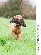 Wire-haired Hungarian vizsla retrieving a melanistic hen pheasant. Стоковое фото, агентство Ingram Publishing / Фотобанк Лори